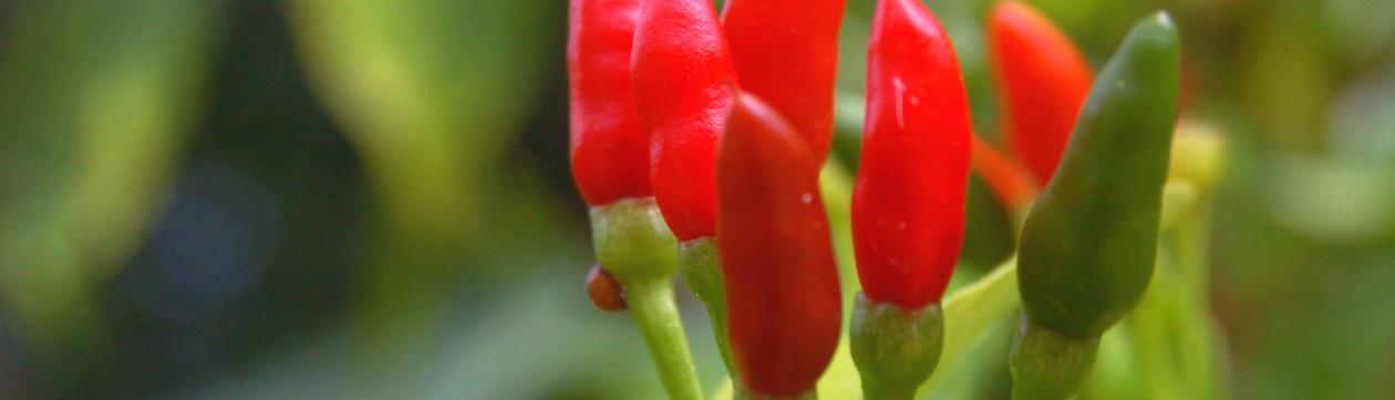 Chiki-Chili